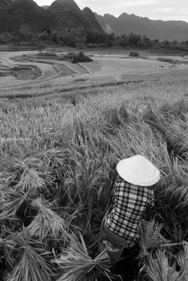 farmer-harvesting-rice