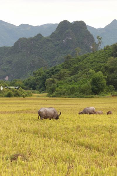 Gazing-buffalos