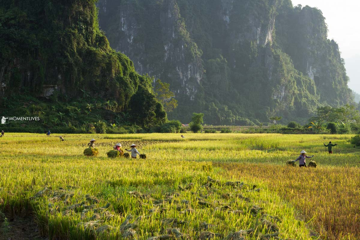 The rice harvest in northern Vietnam