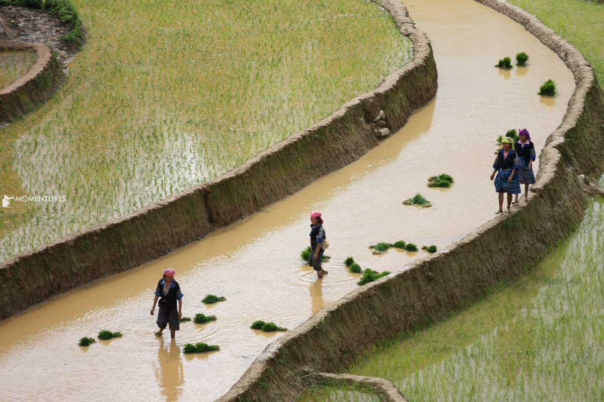 Growing the rice along the hillside