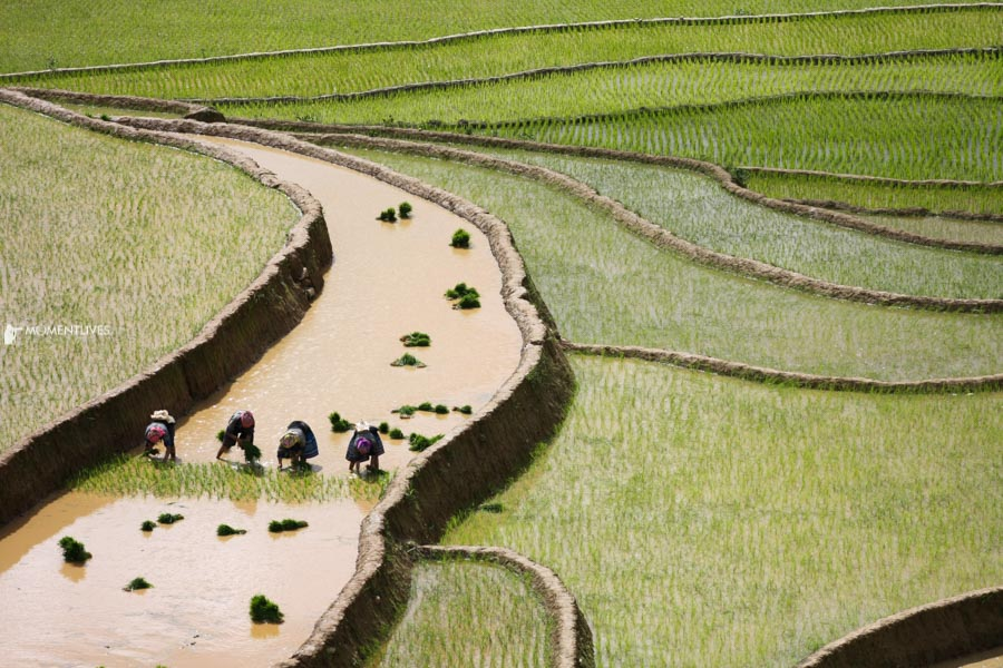 A photo tour capturing the curves of rice fields