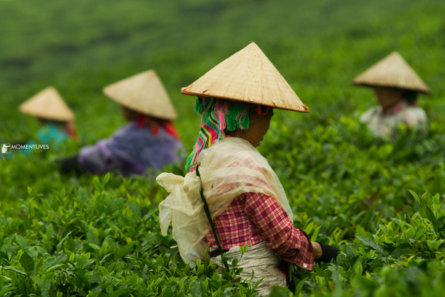 Photograph of ladies picking tea leaves in northern Vietnam