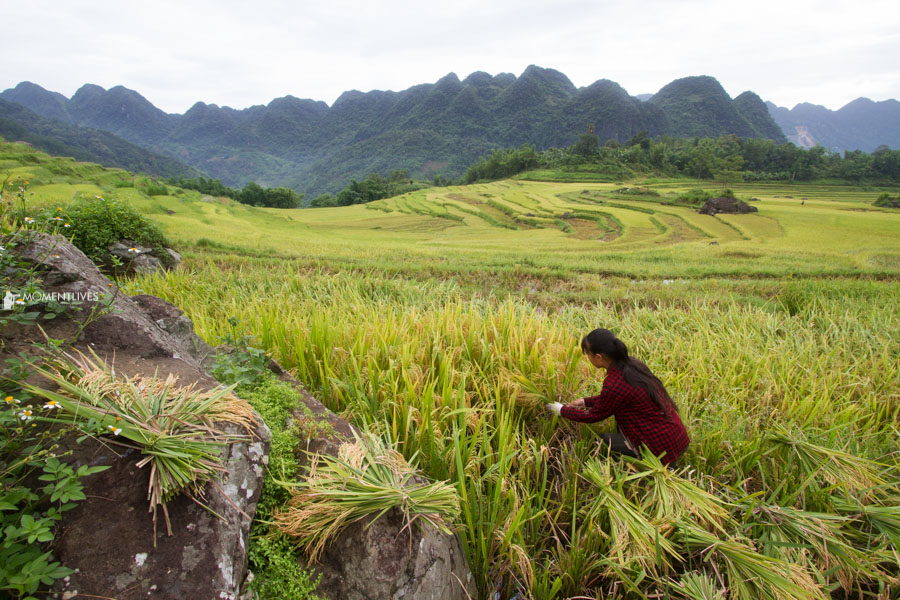 Girl harvests rice in Pu Luong