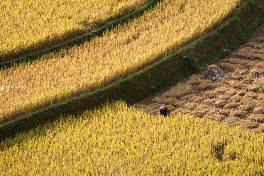 A H'mong lady harvesting rice
