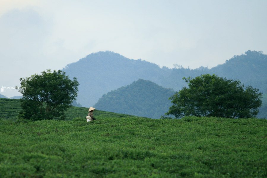 Local lady picking tea leaves