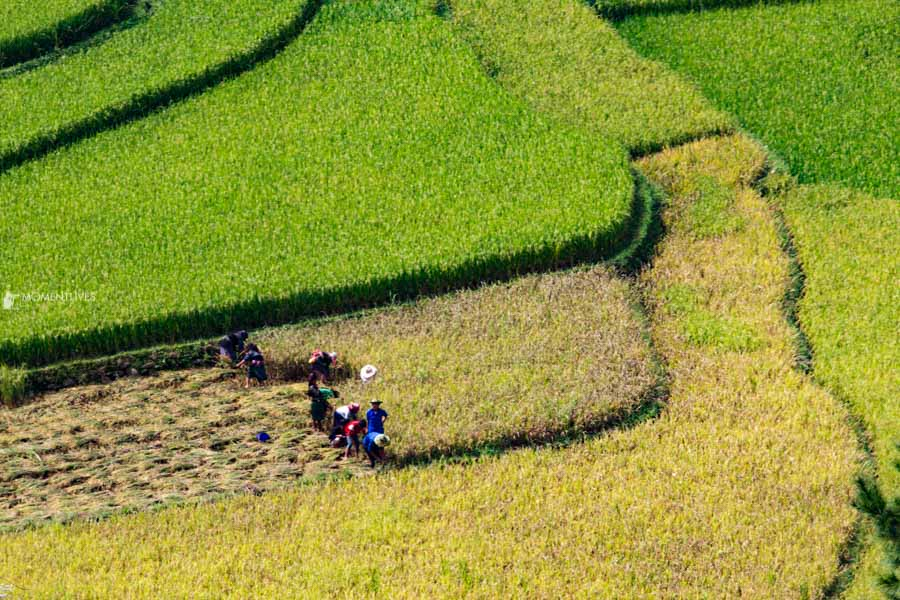 Rice harvest time in Mu Cang Chai