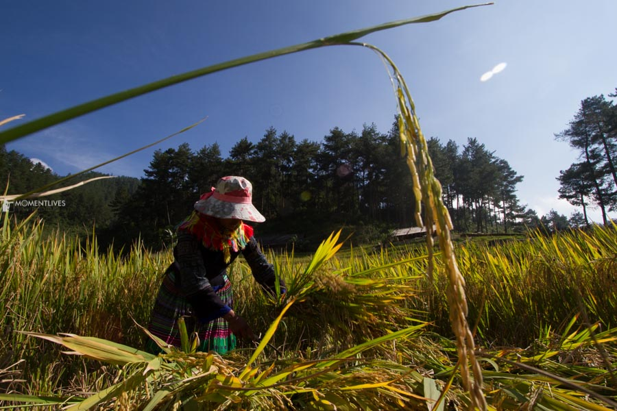 Girl harvests rice in Mu Cang Chai, Vietnam