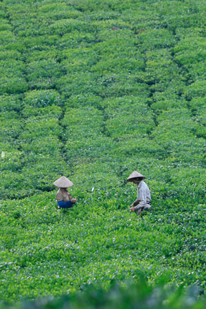 Vietnam-tea-photography