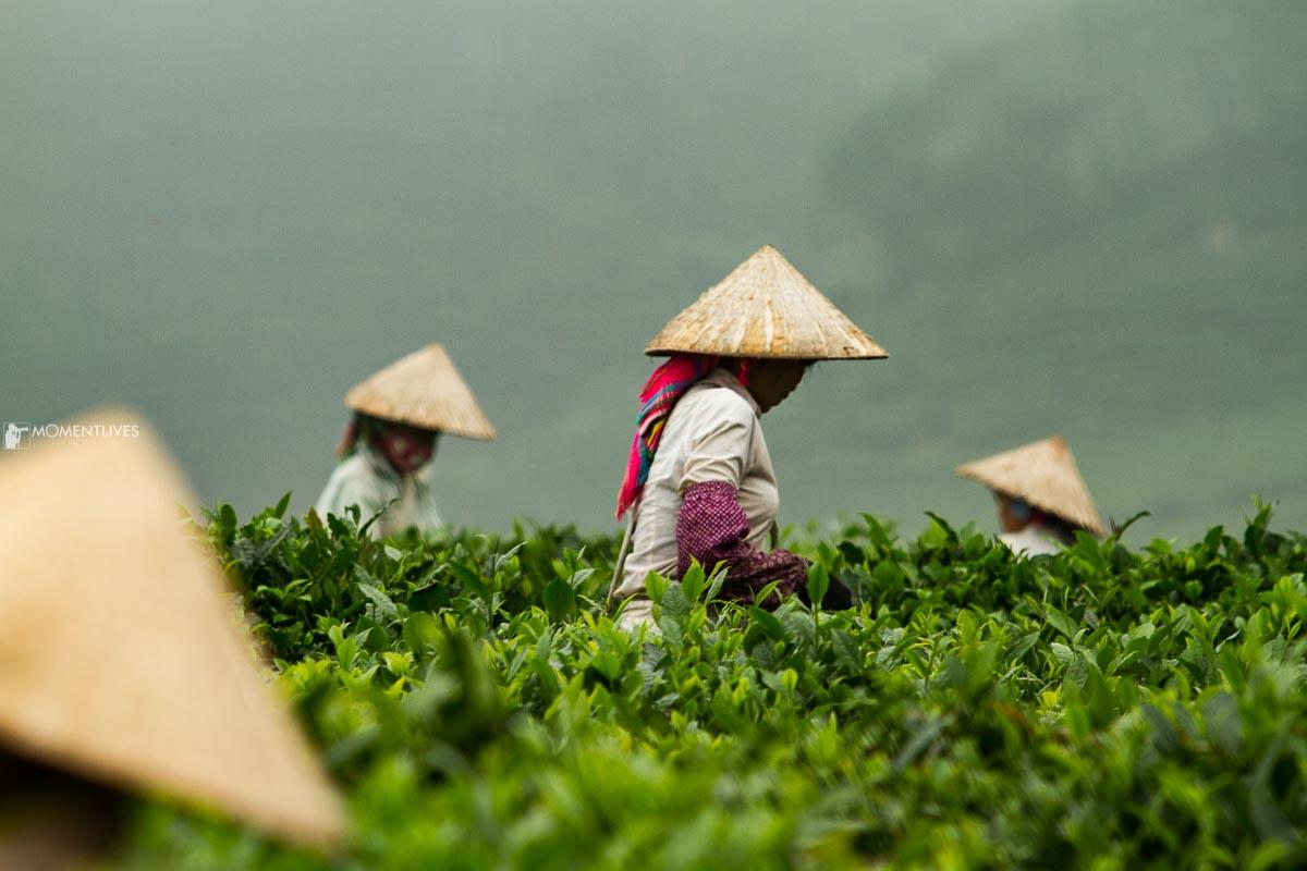 Vietnam photo tour capturing tea plantation and conical hats