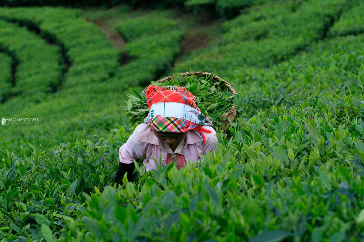 Harvesting tea leaves during our Vietnam photo tour