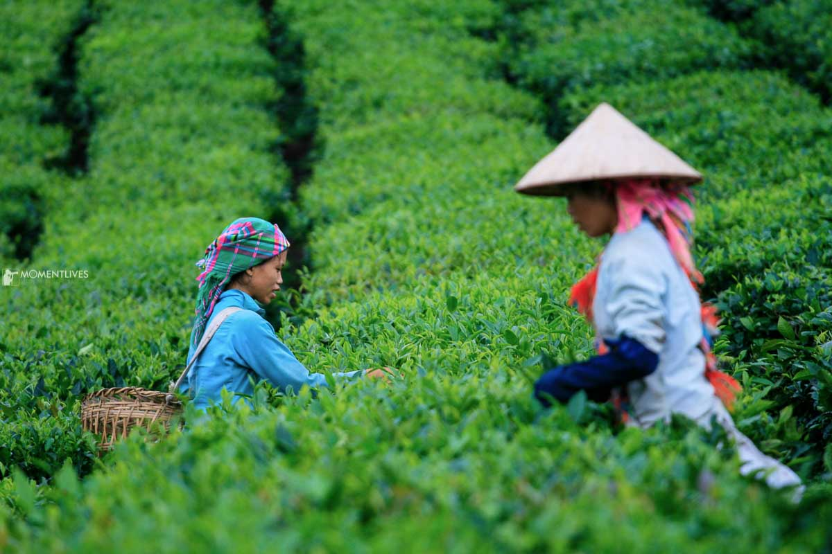 Photography of 02 ladies picking up tea leaves in Vietnam