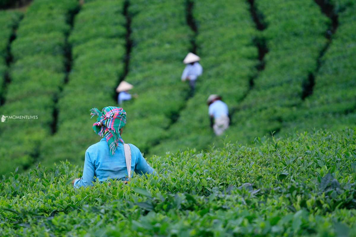 Vietnam tea plantation photography tour