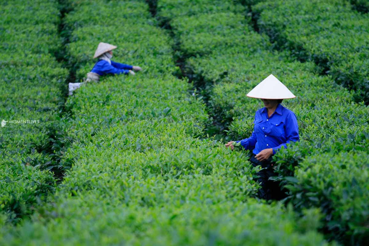 Photography tour to tea plantation in Vietnam