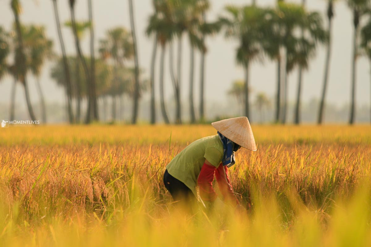 A farmer cutting rice in Thanh Hoa, where we organize our Vietnam photo tour