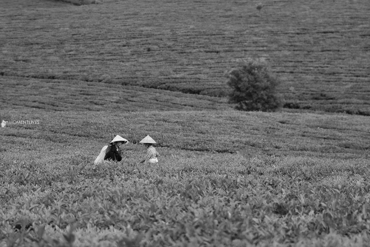 Vietnam photo tour to the tea plantation