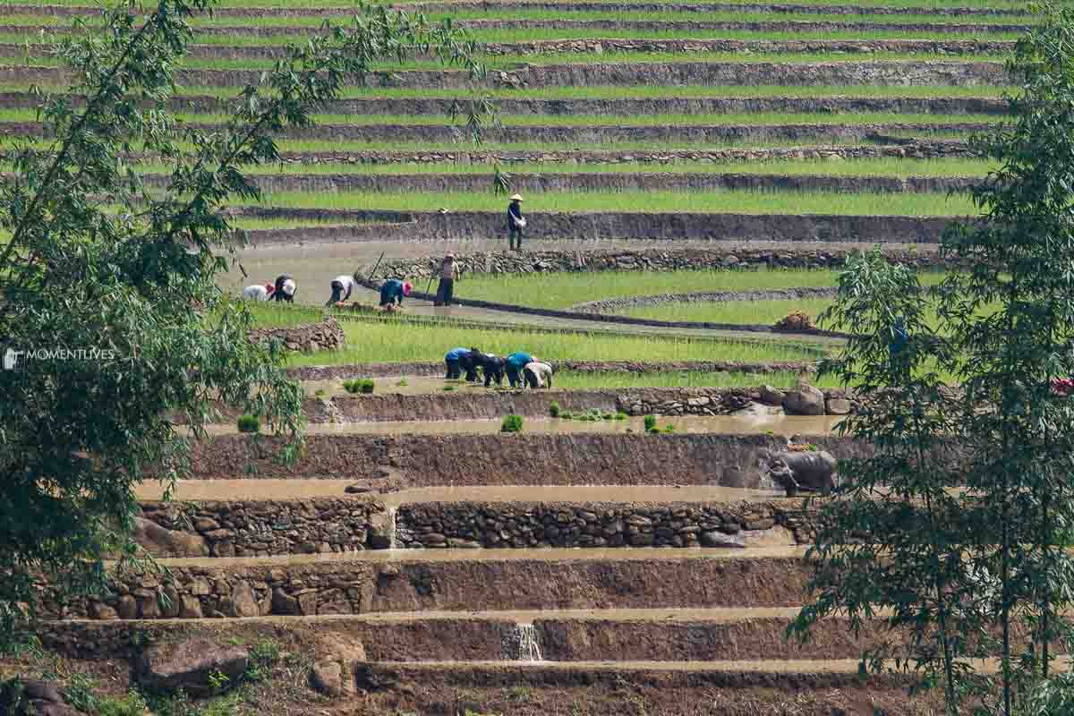 Local people growing rice in Muong Hum, Vietnam