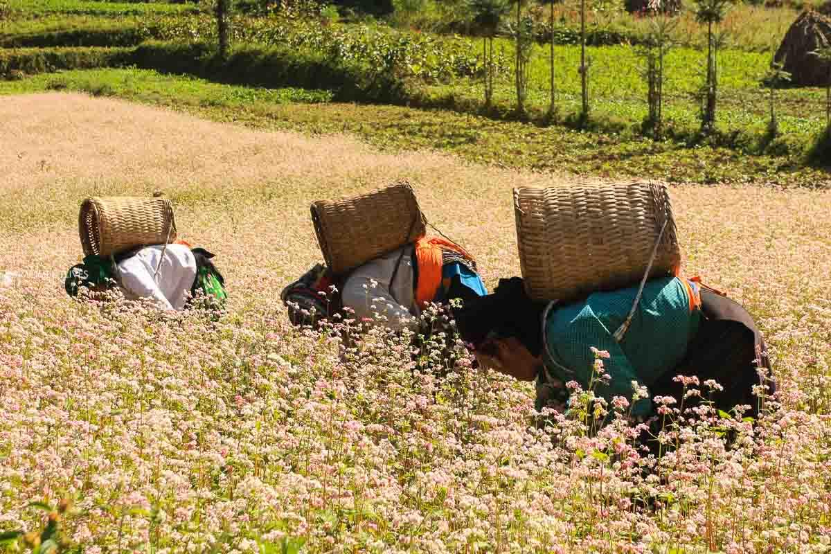 Ha Giang bucket wheat flowers