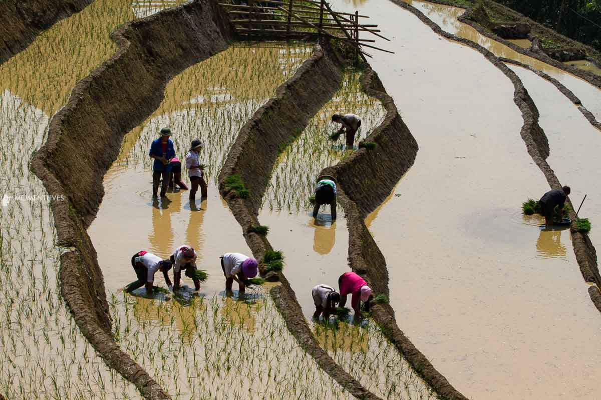 Growing rice in Muong Hum