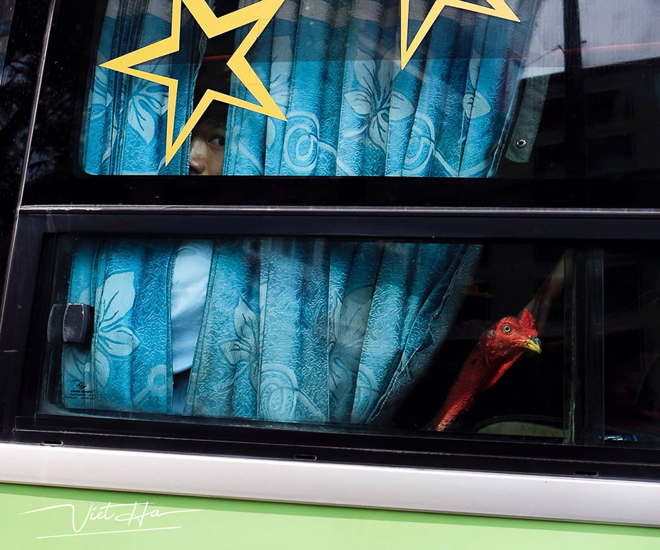Man and rooster captured by Chu Viet Ha on a bus in Hanoi