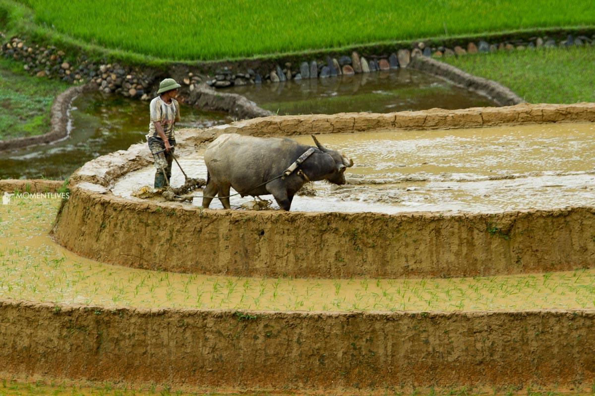 Man preparing the rice field in Hoang Su Phi