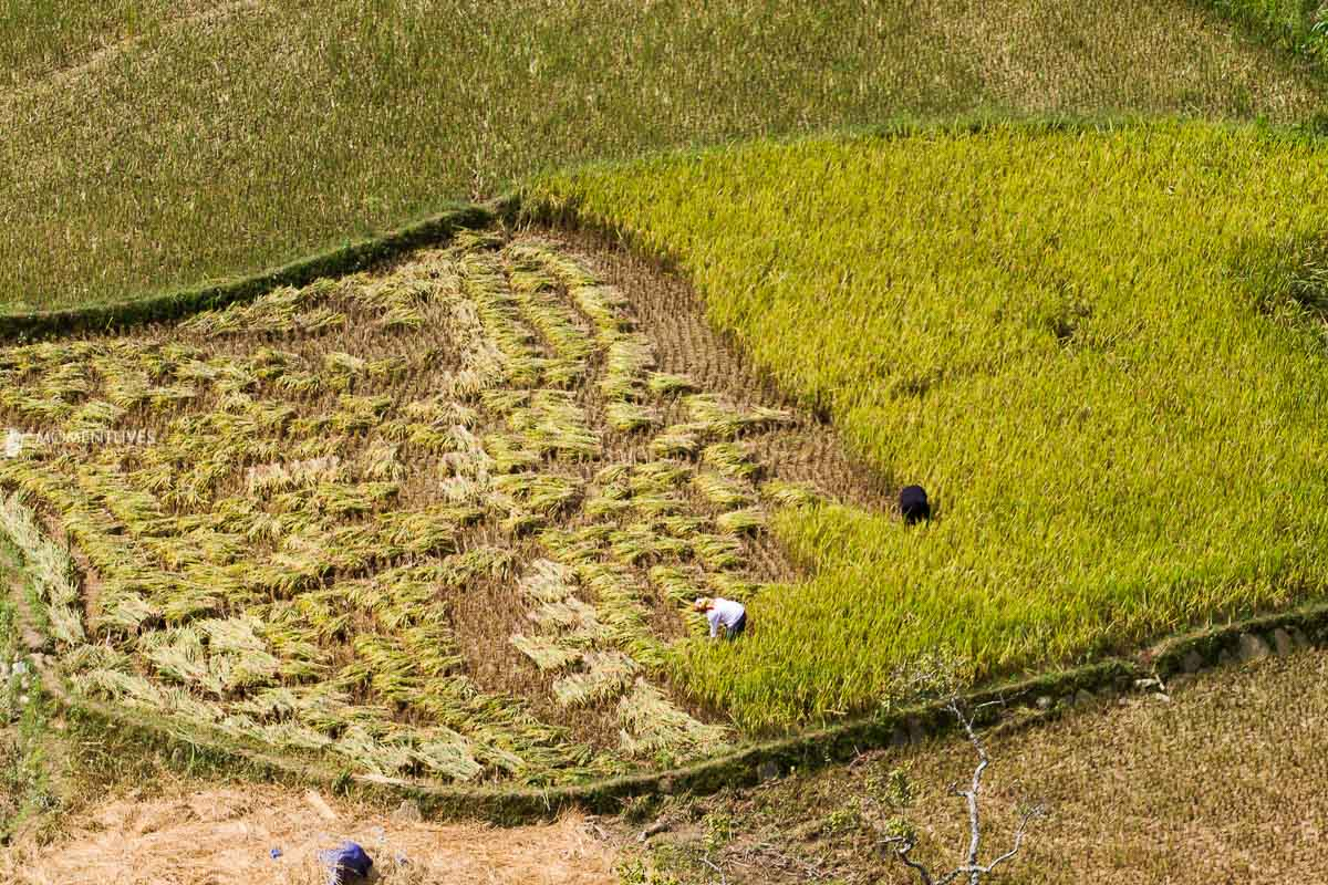 Harvest rice in Ha Giang