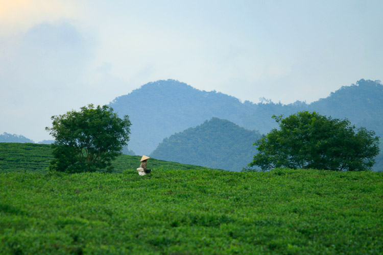 Photography in tea plantation of Moc Chau