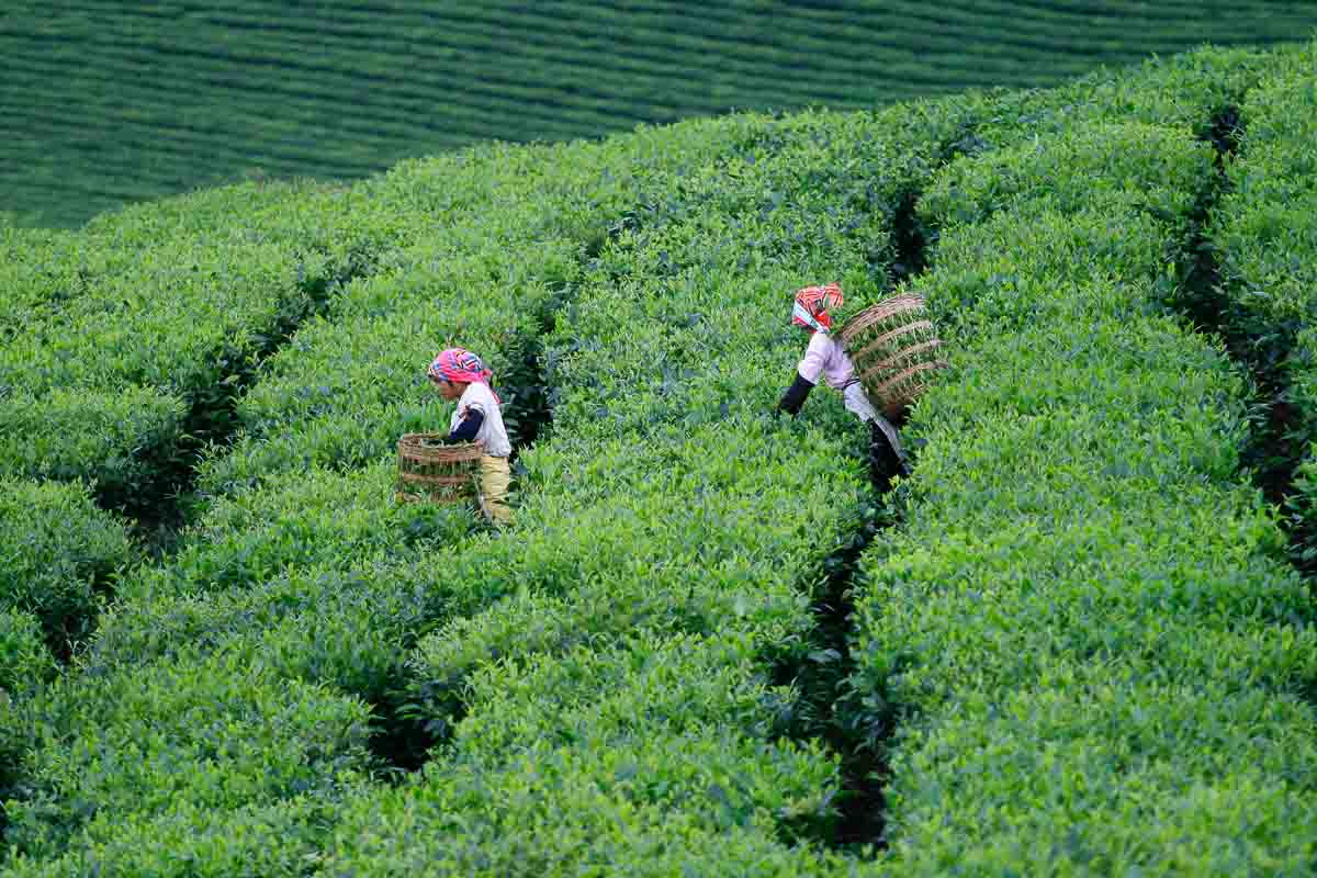 Photography tour to the tea plantation of northern Vietnam