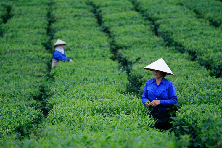 Photography in a tea plantation of Vietnam