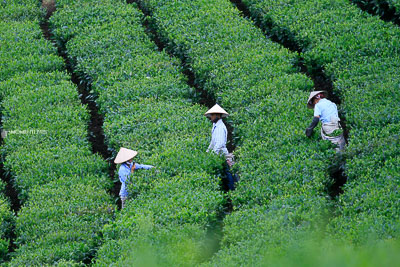 Tan Uyen tea plantation photography