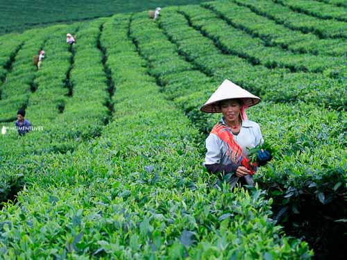 Tea photography tour in North Vietnam